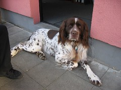 dog breed, animal, dog, boykin spaniel, pet, drentse patrijshond, setter, russian spaniel, spaniel, french spaniel, english springer spaniel, carnivoran,