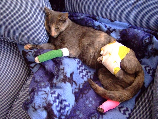 cat with injury