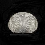 Chonetes coronatus - Kashong shale