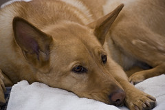 dog breed, animal, dingo, dog, carolina dog, pet, mammal, close-up,