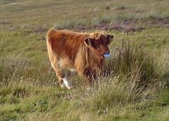 herd(0.0), grazing(0.0), muskox(0.0), yak(0.0), cattle-like mammal(1.0), animal(1.0), prairie(1.0), grass(1.0), mammal(1.0), fauna(1.0), meadow(1.0), cattle(1.0), calf(1.0), pasture(1.0), grassland(1.0), safari(1.0), wildlife(1.0),