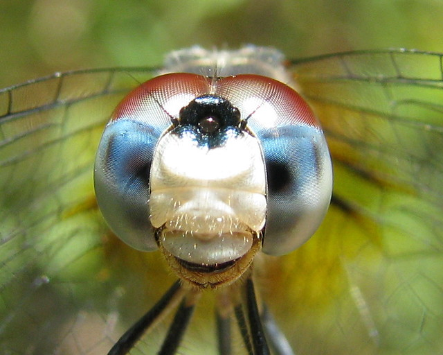 Blue Dasher blue
