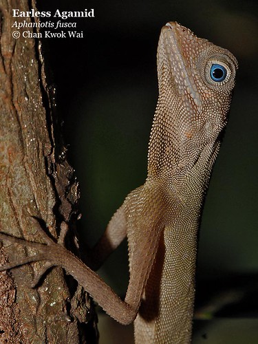 Earless Agamid with Blue eyes