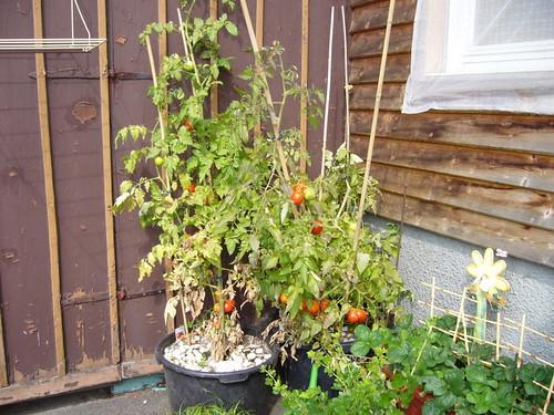 tipp gegen kraut braunf ule an tomaten seite 1. Black Bedroom Furniture Sets. Home Design Ideas