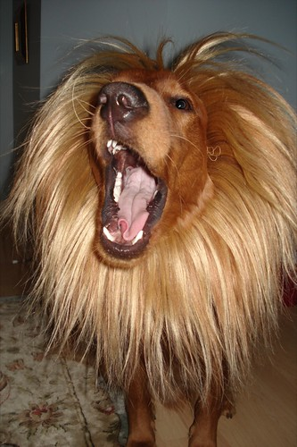 golden retriever with lion mane
