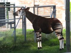 mare(0.0), horse(0.0), animal(1.0), zoo(1.0), okapi(1.0), fauna(1.0), giraffidae(1.0),