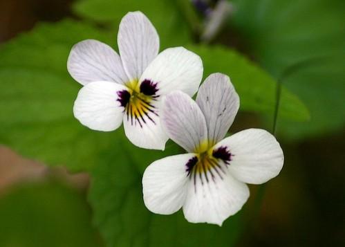Viola ocellata Western Hearts-ease