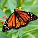 Monarch Butterfly - Photo (c) TexasEagle, some rights reserved (CC BY-NC)