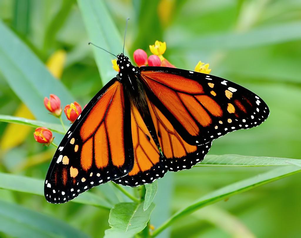 Mariposa Monarca (Danaus plexippus) · NaturaLista