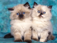 domestic long-haired cat, animal, small to medium-sized cats, pet, ragdoll, cat, carnivoran, whiskers, birman, himalayan,
