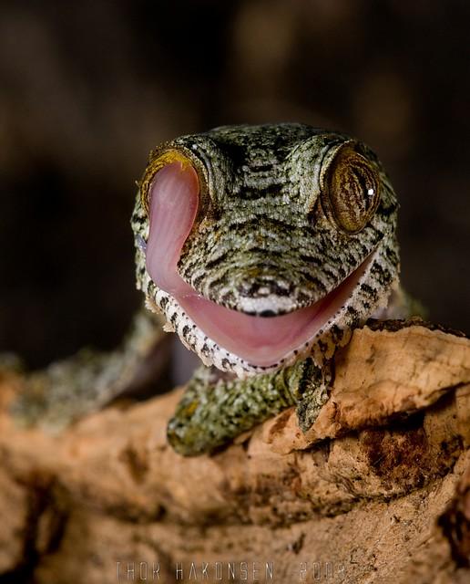 Uroplatus fimbriatus - Giant Leaf-tailed Gecko