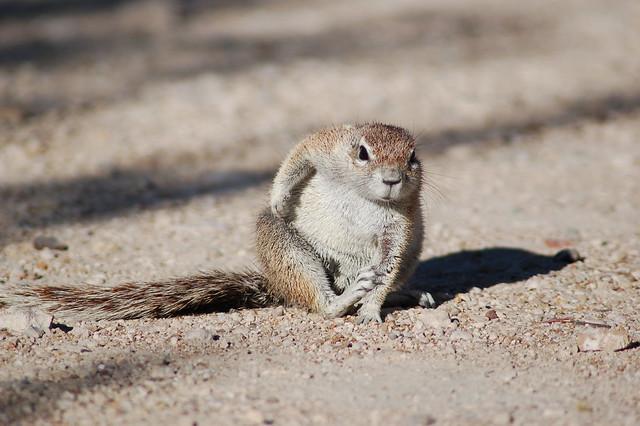 Marmota - Parque Nacional Etosha - Namibia
