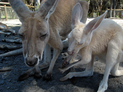 Kangaroo and its joey