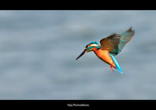 Kingfisher..