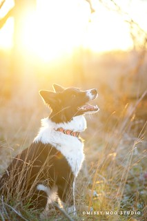 Sun Soaked Border Collie