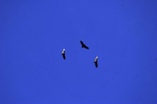three hawks (eagles? vultures?)    MG 2092
