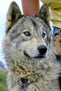 LAKOTA the WOLFDOG--1030350