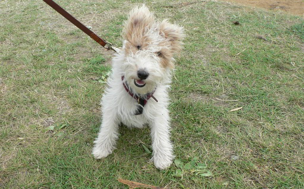 wire haired fox terrier - AOL Image Search Results