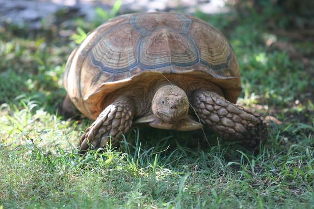 Do Desert Tortoises Drink Water