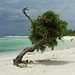 Divi Tree on Baby Beach Aruba