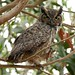 Great Horned Owl - Photo (c) Minette, some rights reserved (CC BY-NC)
