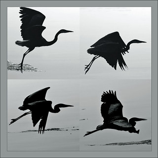 flight patterns of a great blue heron
