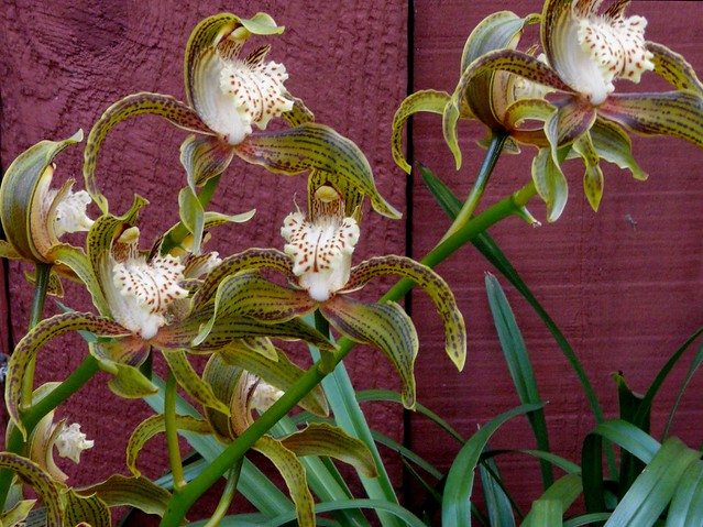 Cymbidium tracyanum orchid species