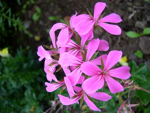 'Lila Compact Cascade'天竺葵Geranium