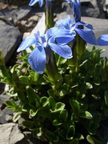 [Gentianaceae] Gentiana orbicularis Schur. 25.06.2008