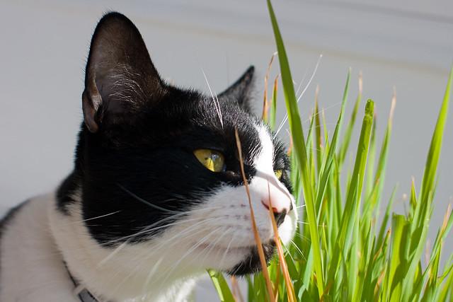 basil grass