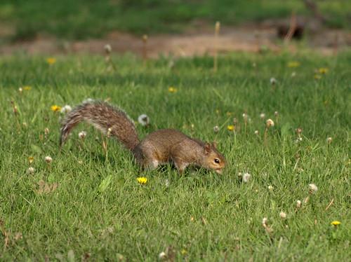 nature mammal illinois squirrel wildlife wilderness naturephotography sciuruscarolinensis easterngraysquirrel outdoorphotography