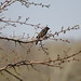 Small photo of Adult Female Red-winged Blackbird