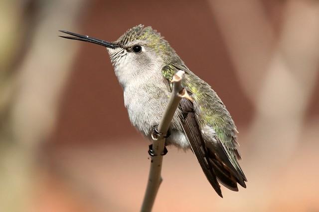 Talking Costa's Hummingbird - Female