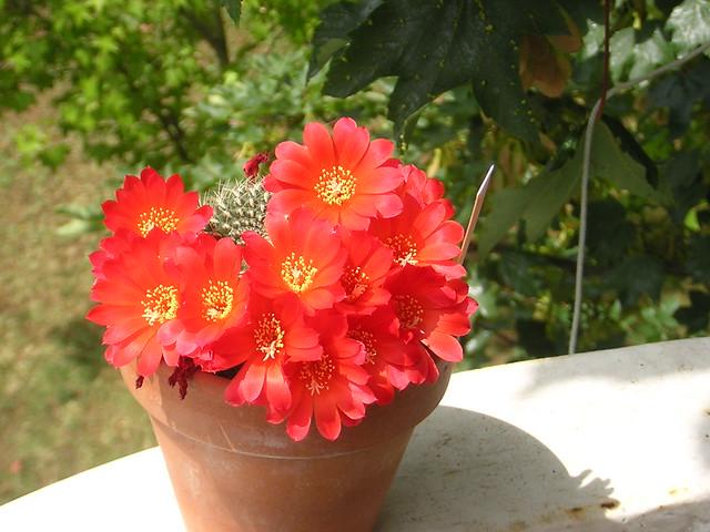 Rebutia Heliosa var. Condorensis