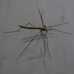 animal, mosquito, wing, invertebrate, line, macro photography, pest,