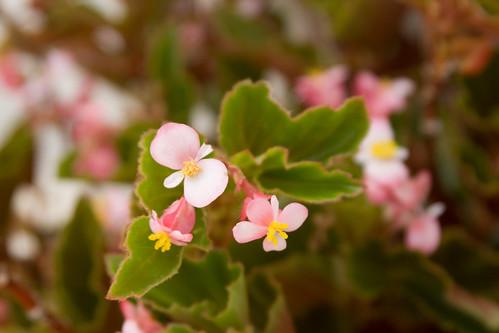 (7766) Fiori rosa
