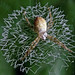 Young Argiope Spider