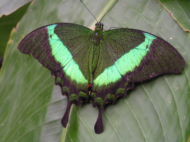 Green peacock butterfly - photo#3