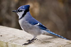Blue Jay - Photo (c) Ralf Nowak, some rights reserved (CC BY-NC-SA)