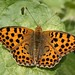 Queen of Spain Fritillary - Photo (c) Dean Morley, some rights reserved (CC BY-ND)