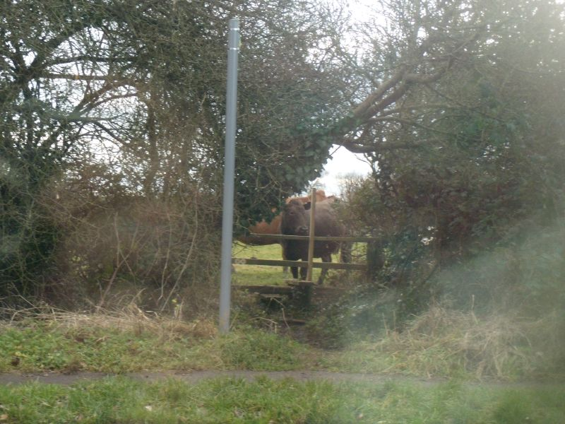 Lunchtime drama - 1 Cow susses out fence. Chesham Circular