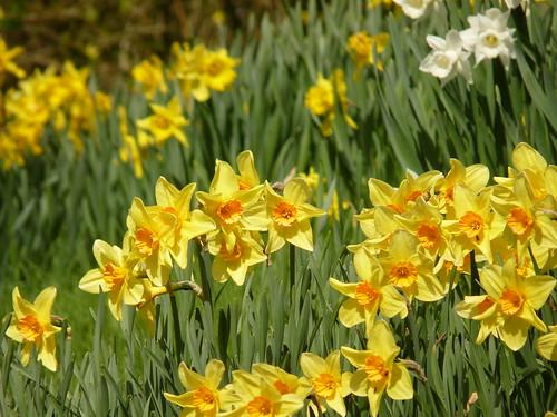 Daffodils in Morland, Cumbria