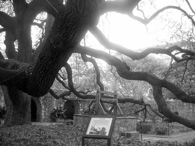 Live Oak Tree At The Alamo In San Antonio Flickr Photo