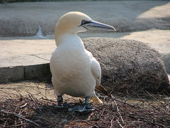 booby(0.0), wildlife(0.0), animal(1.0), suliformes(1.0), wing(1.0), fauna(1.0), beak(1.0), bird(1.0), seabird(1.0),