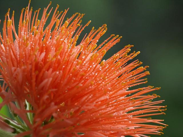 Scadoxus multiflorus - African Blood Lily
