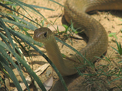 grass snake(0.0), lacerta(0.0), lacertidae(0.0), animal(1.0), serpent(1.0), snake(1.0), reptile(1.0), fauna(1.0), viper(1.0), scaled reptile(1.0), wildlife(1.0),