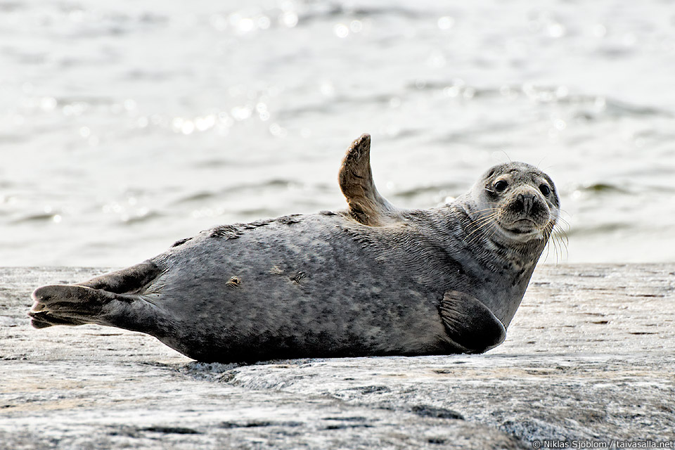 grey seal with a flipper up