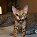 Baby Bengal Kitten 'Pip' Attacking Camera by johnnymal