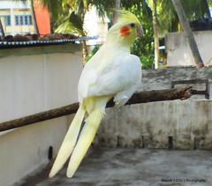 cockatoo, animal, parrot, wing, sulphur crested cockatoo, fauna, cockatiel, beak, bird,