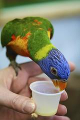animal, lovebird, parrot, yellow, pet, green, parakeet, close-up, lorikeet, common pet parakeet, beak, bird,